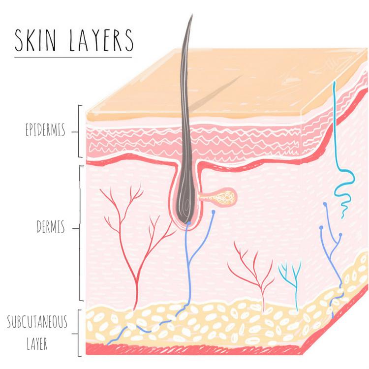 skin layers illustration