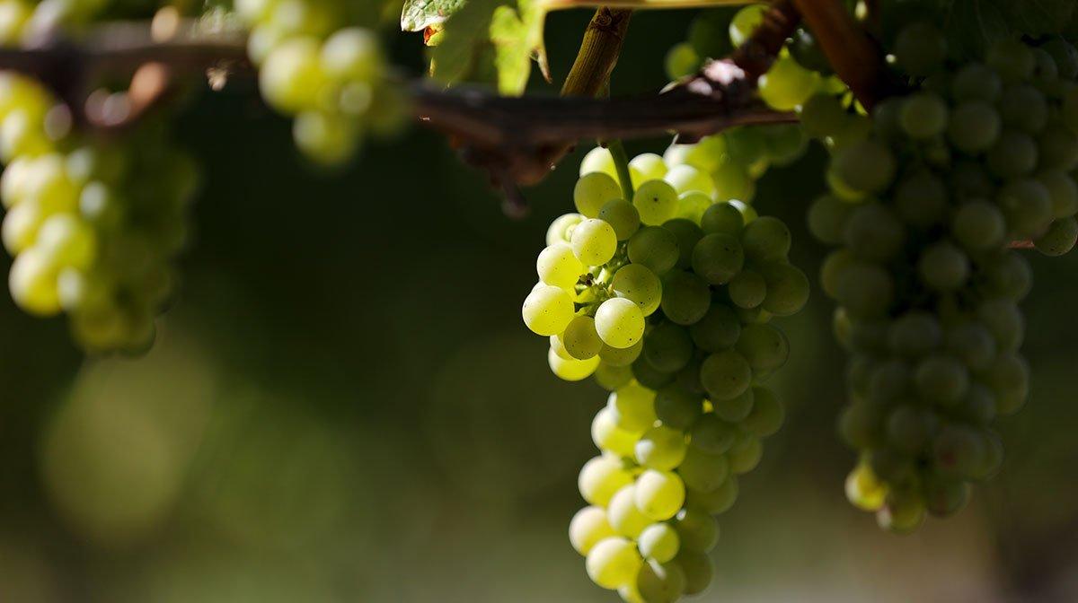 Vinanza Grape
