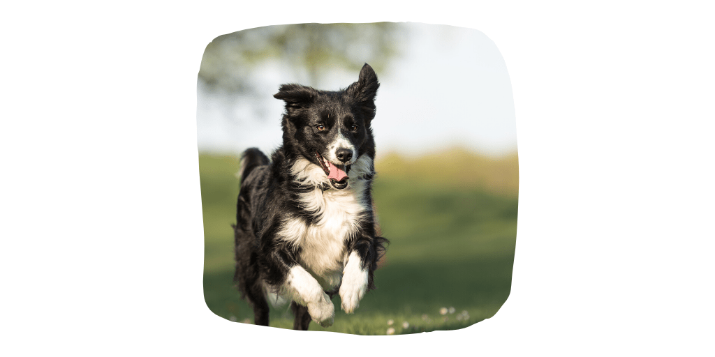 dog breeds border collie