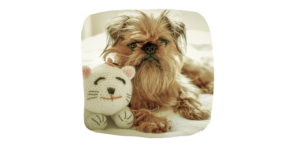 brussels griffon dog breeds