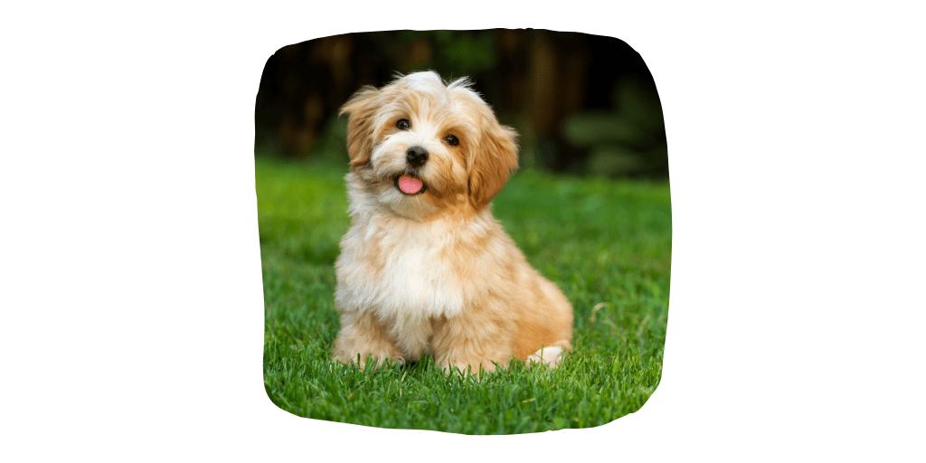 havanese dog breeds