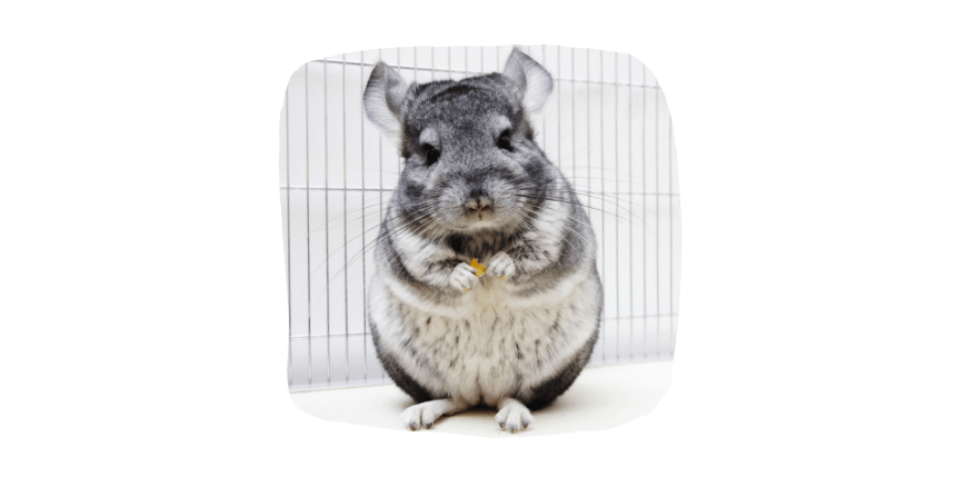 chinchilla small pets