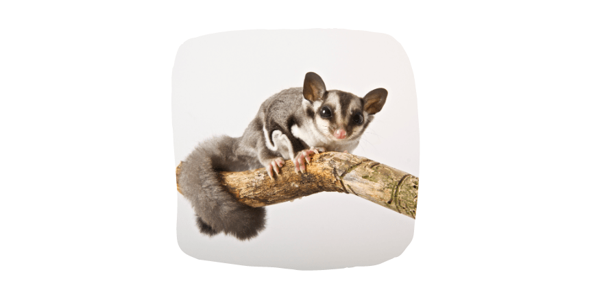 sugar gliders small pets