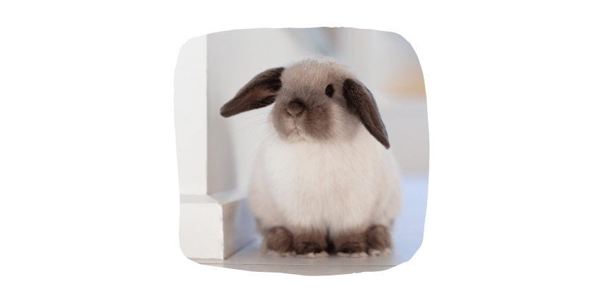 mini lop small pets