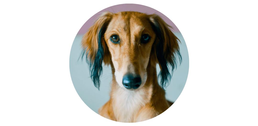 saluki expensive dog