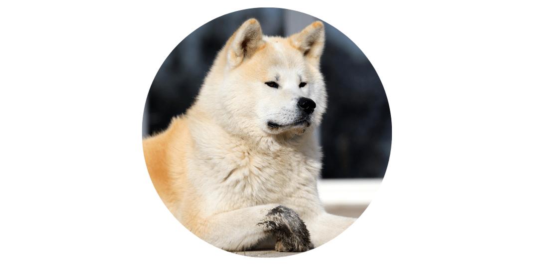 akita expensive dog