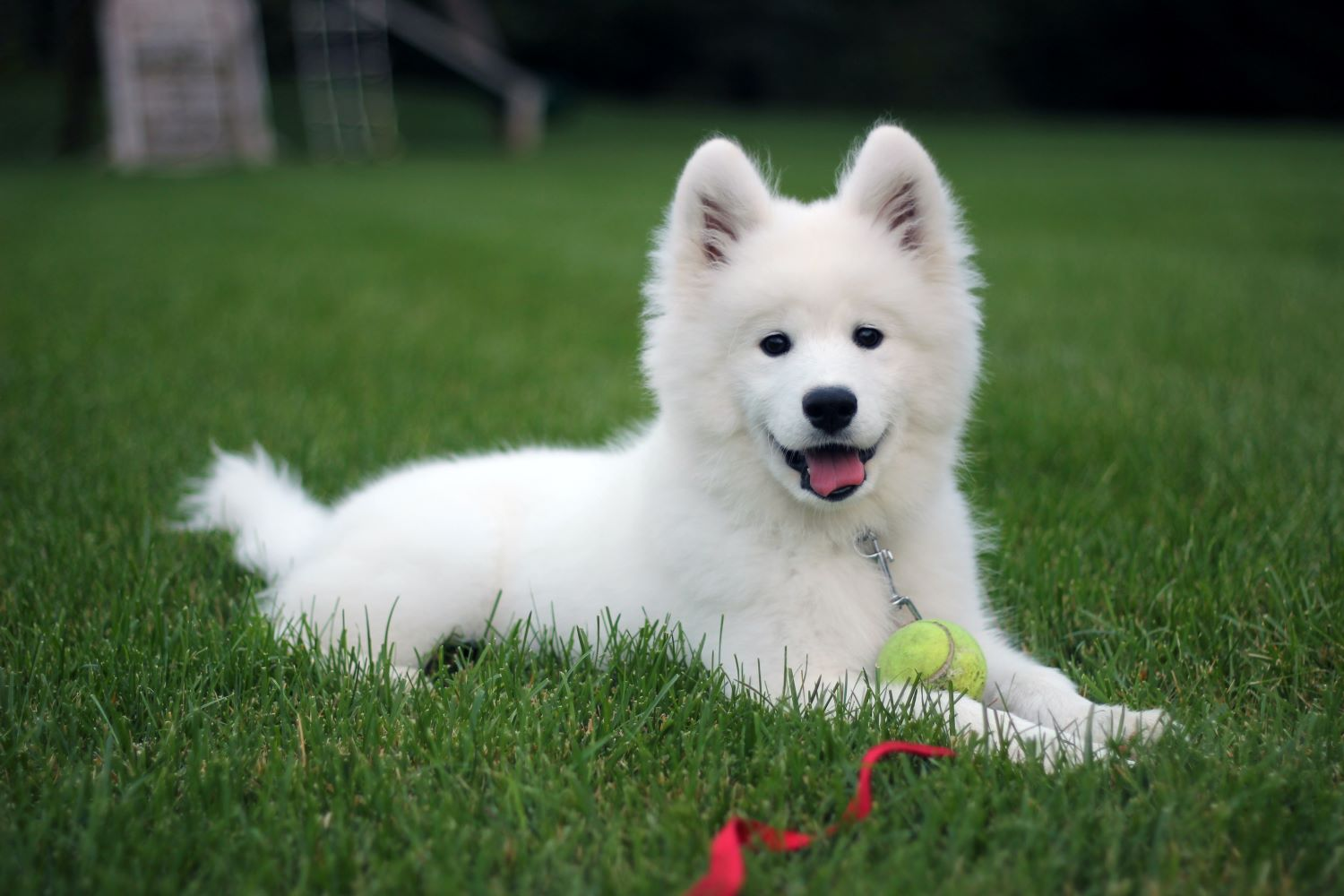10 Expensive Dog Breeds From Around The World
