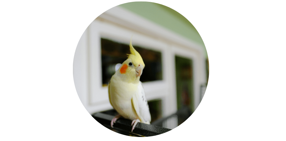 cockatiel small pets