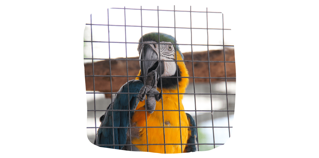 pet parrots in cage