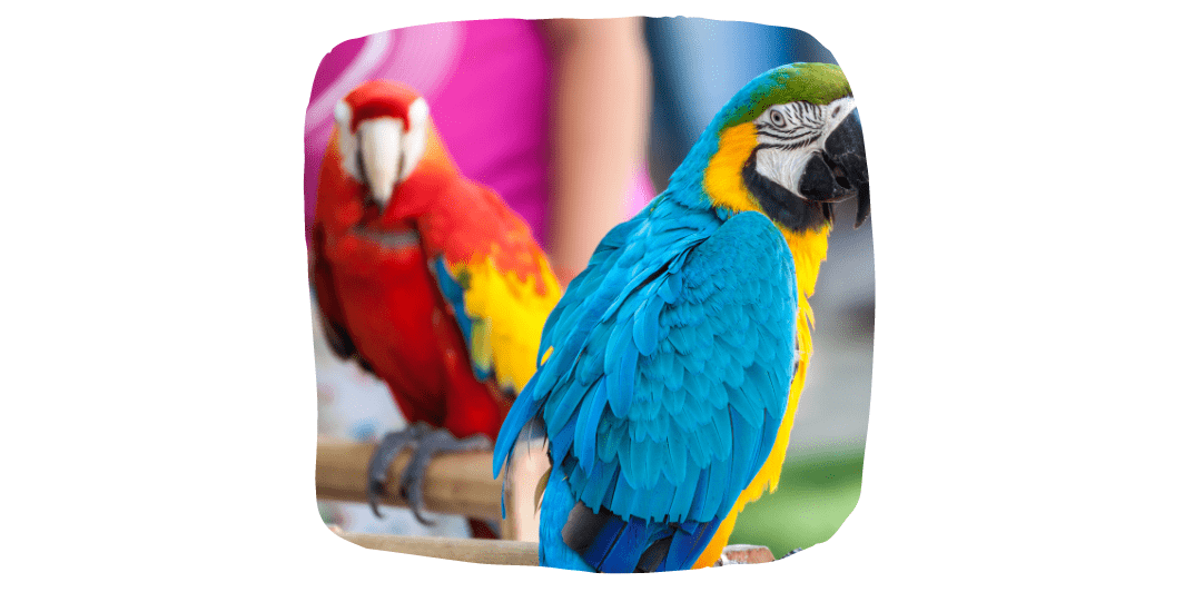 two pet parrots