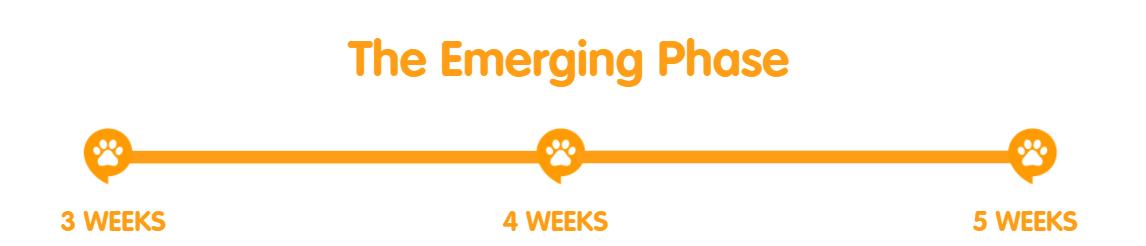 3-5 weeks developmental stages of a kitten
