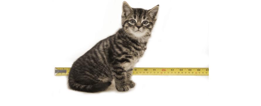 kitten at 6 weeks