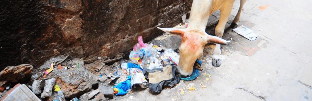 livestock eating plastic carrier bag