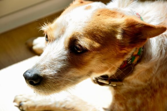 Anxious Dogs: How to keep your dog calm during the fireworks.