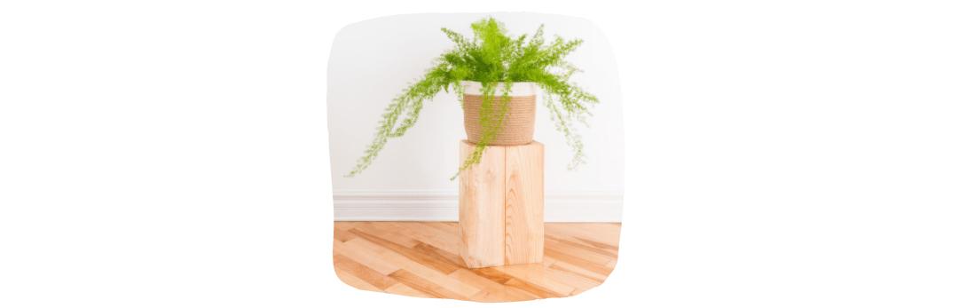 asparagus fern house plants
