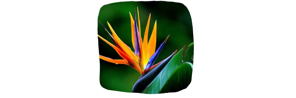 bird of paradise house plants