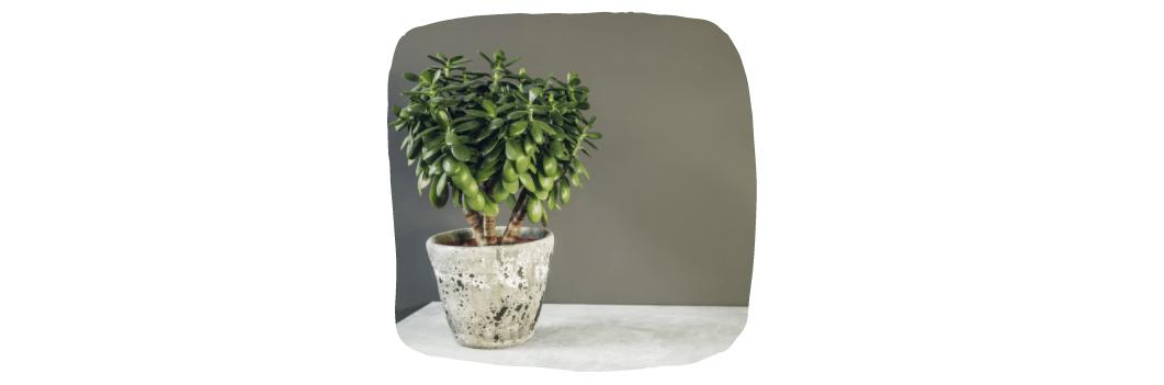 jade house plants