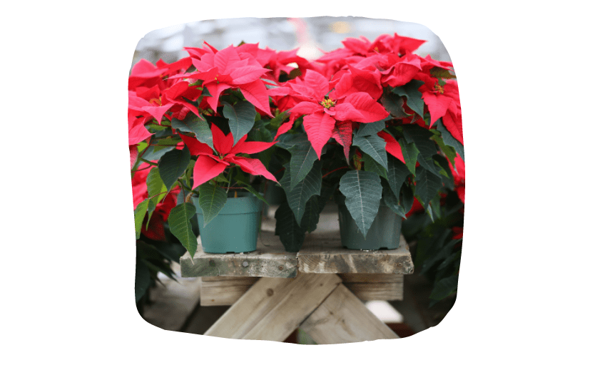 Keep Your Pets Safe During Christmas - Poisonous plants
