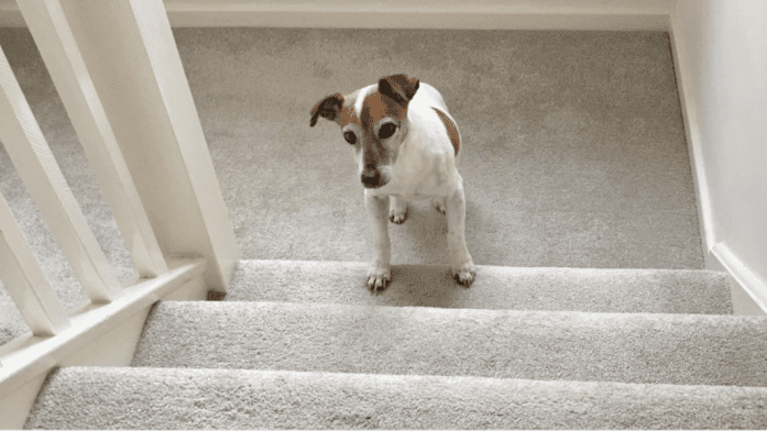 How To Train A New Puppy To Climb The Stairs