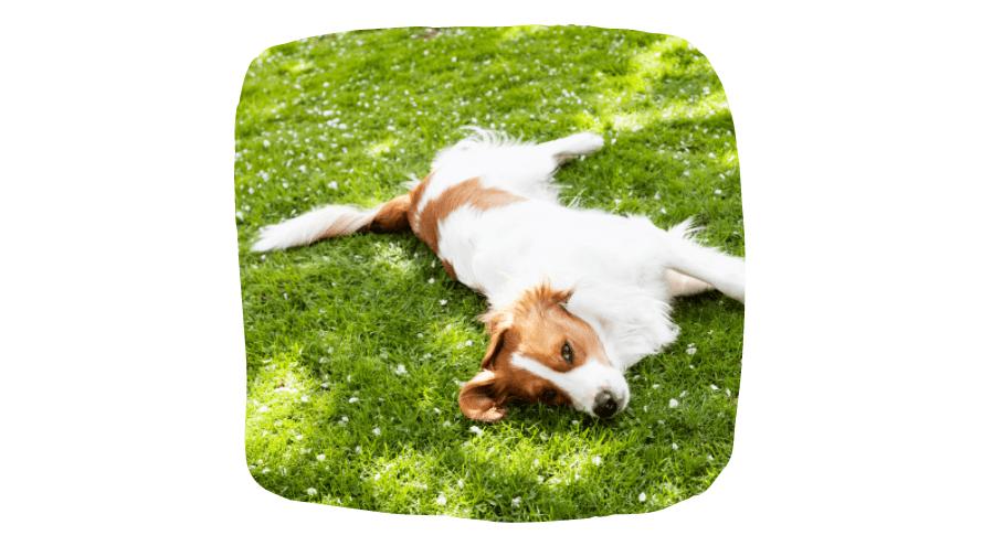 dog laying in garden