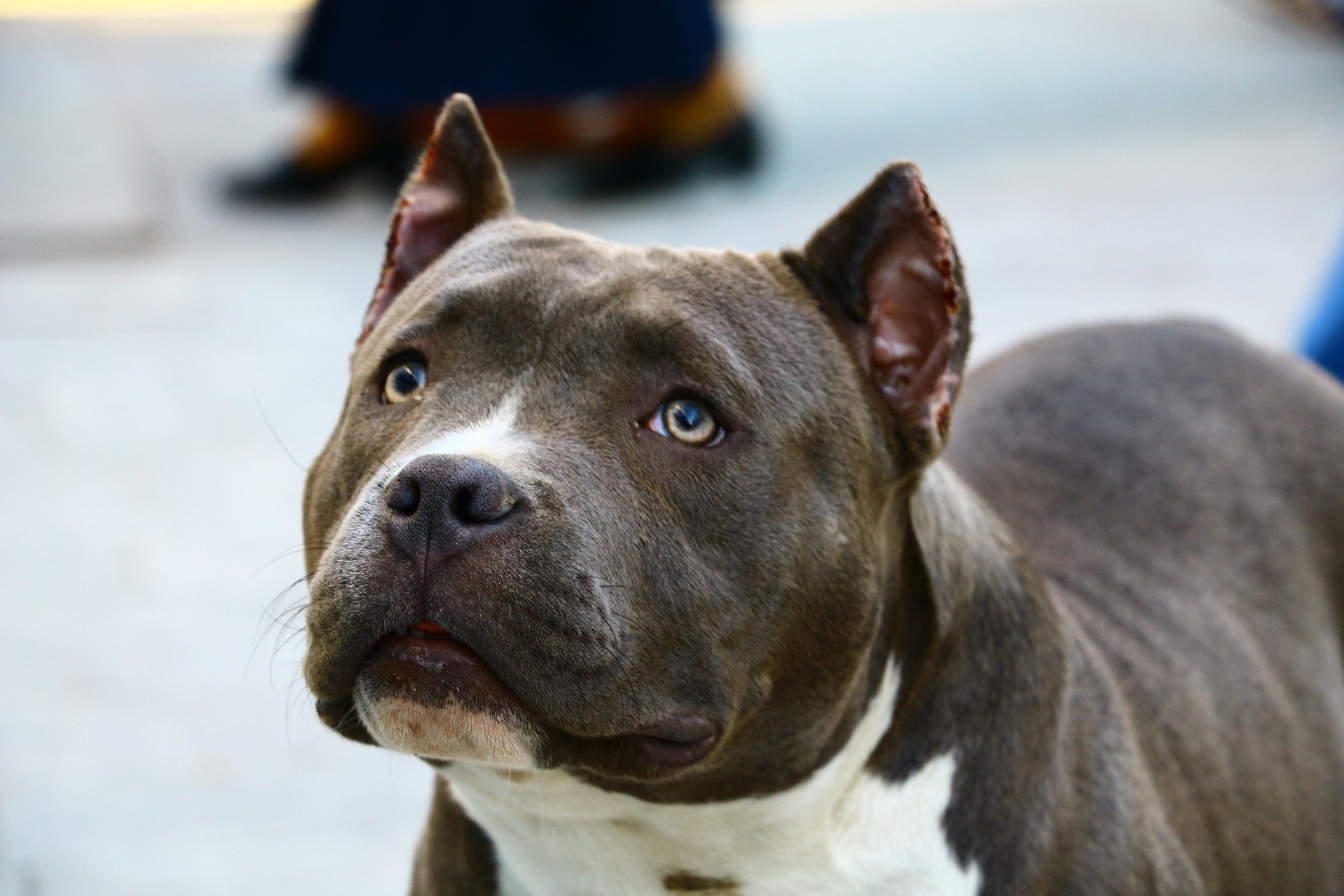 Help Ban Imports Of Dogs With Cropped Ears
