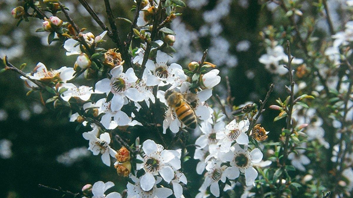 How is Manuka Honey Made?