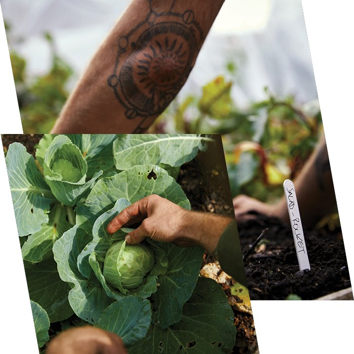 Close up of tattooed arms and man picking lettuce