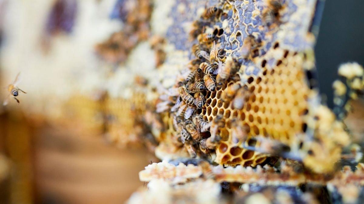 Unterschied zwischen Manuka-Honig und normalem Honig