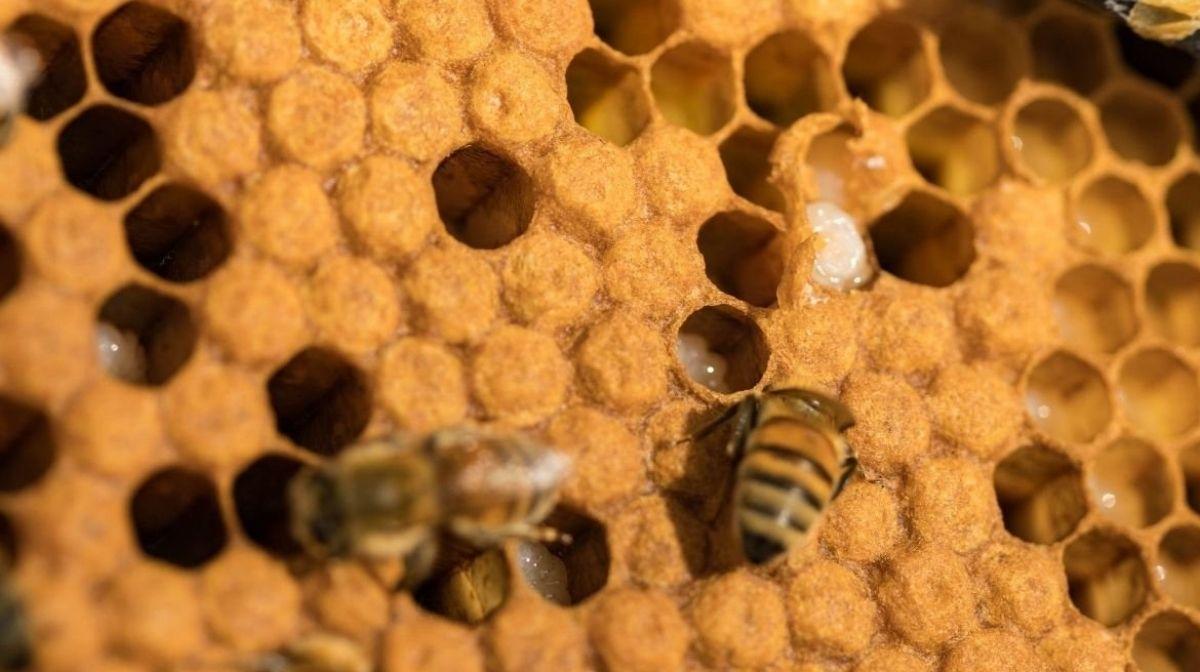 Manuka-Honig & Wunden: Alles, was Sie wissen müssen