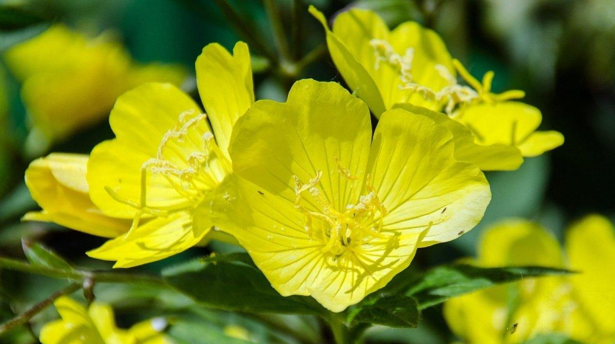 Aceite de Onagra | Propiedades, dosis y efectos secundarios