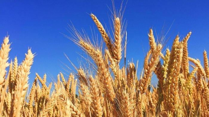 Germen de trigo | Beneficios, usos y propiedades