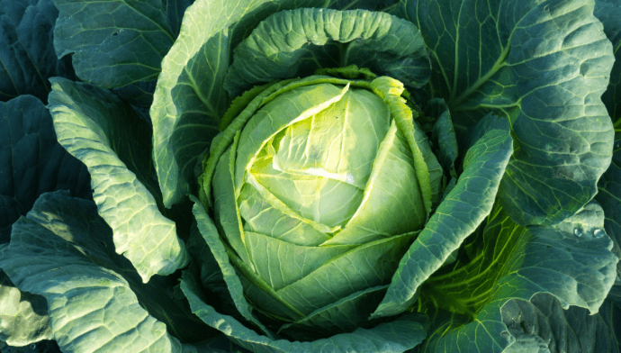 Cabbage For Mastitis: Everything You Need To Know