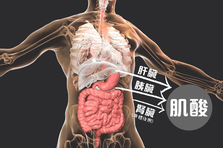 身體結構與肌酸的關係