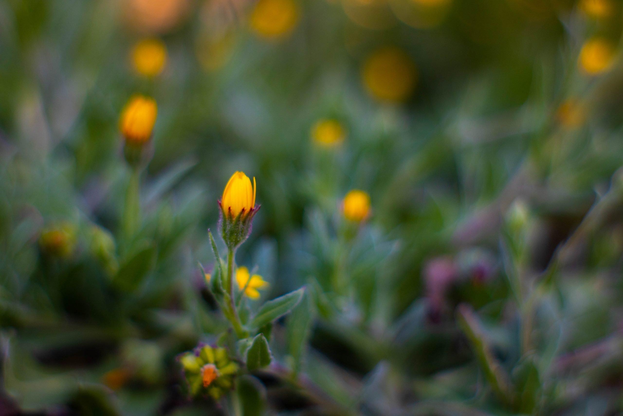 Rastlina Tribulus Terrestris