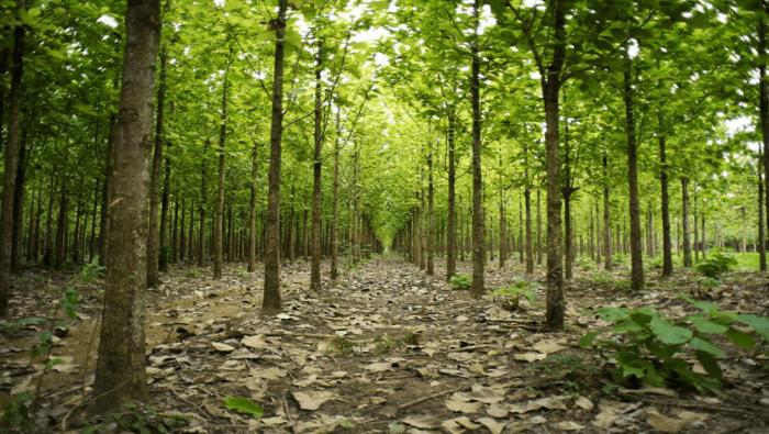 Teak Afforestation, Mexico