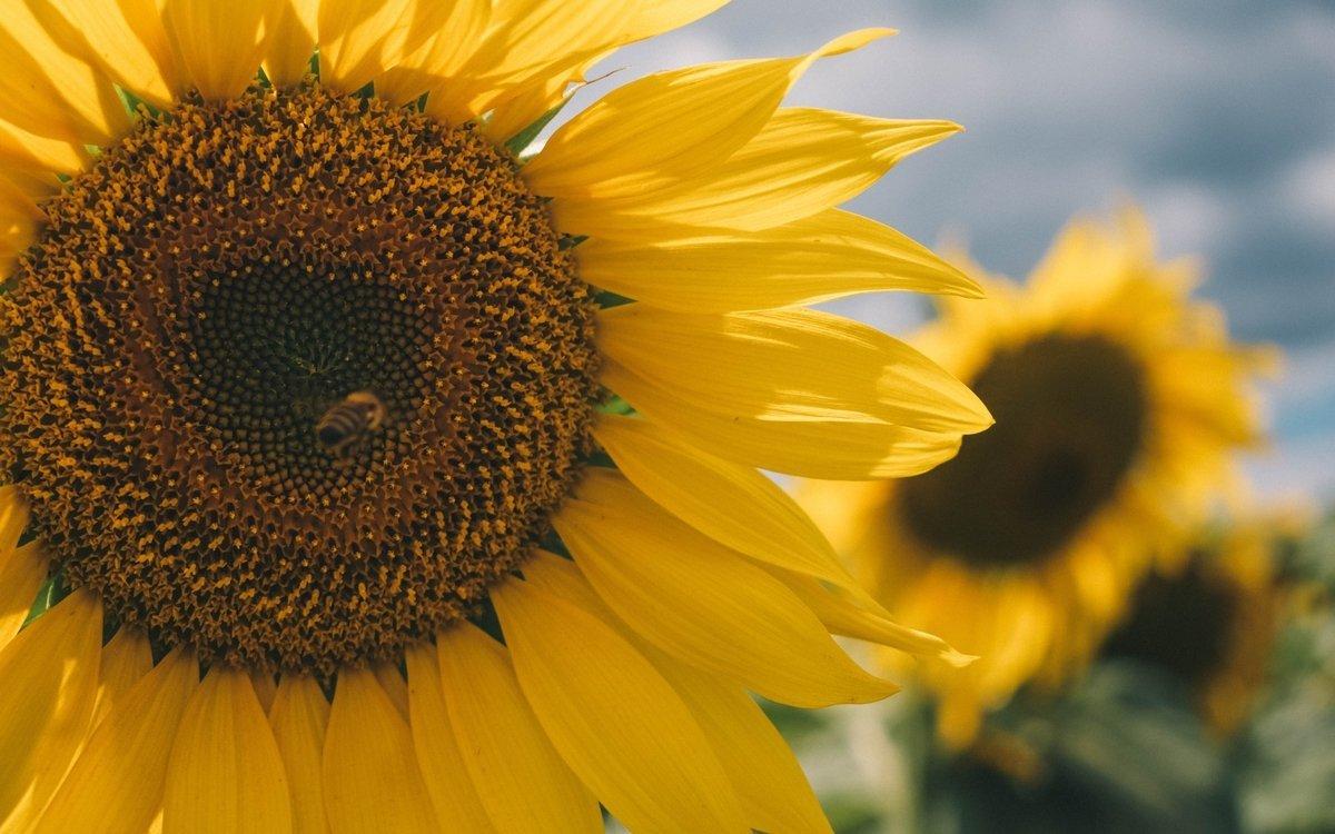 Zonnebloempitten: voedings- en gezondheidsvoordelen