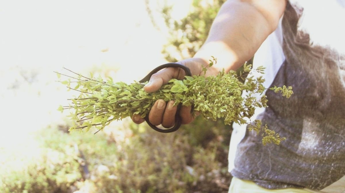 Everything You Never Knew About Oregano