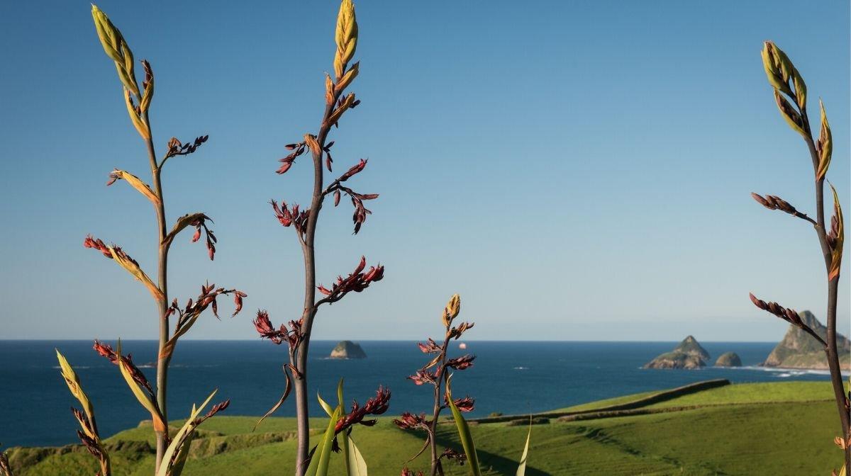 New Zealand flax plants