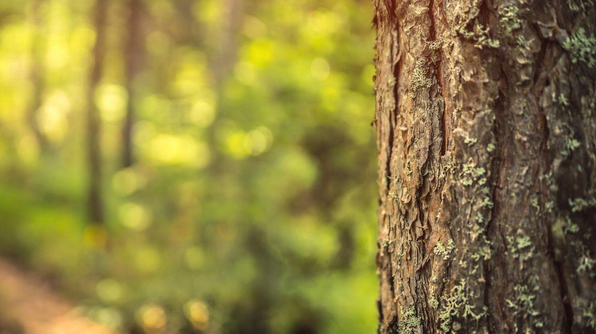 Totarol: Spotlight on Skin Care Ingredients