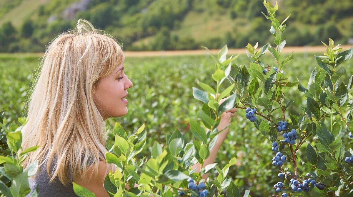 woman picking antioxidant blueberries