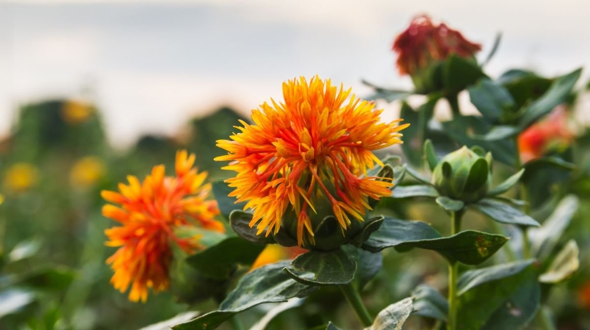 safflower plants, a natural source of ceramides that can benefit skin