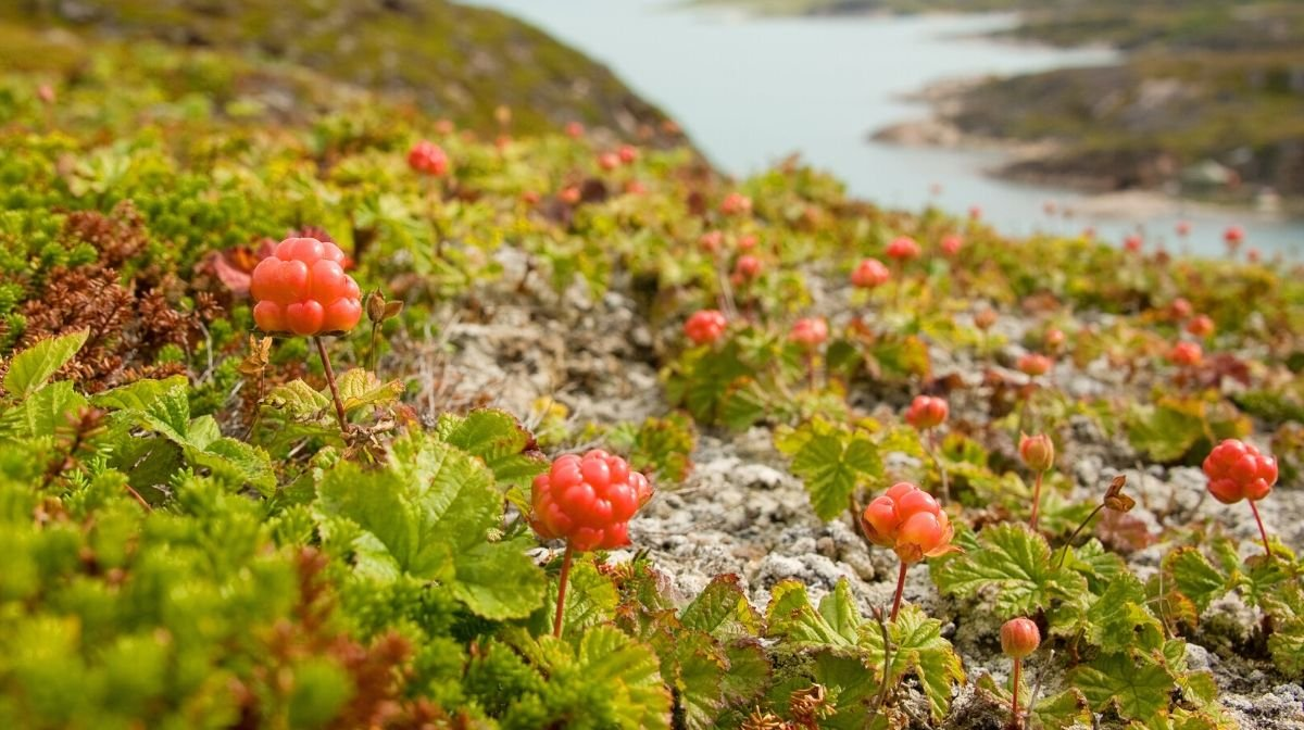 cloudberries growing close to a Nordic fjord