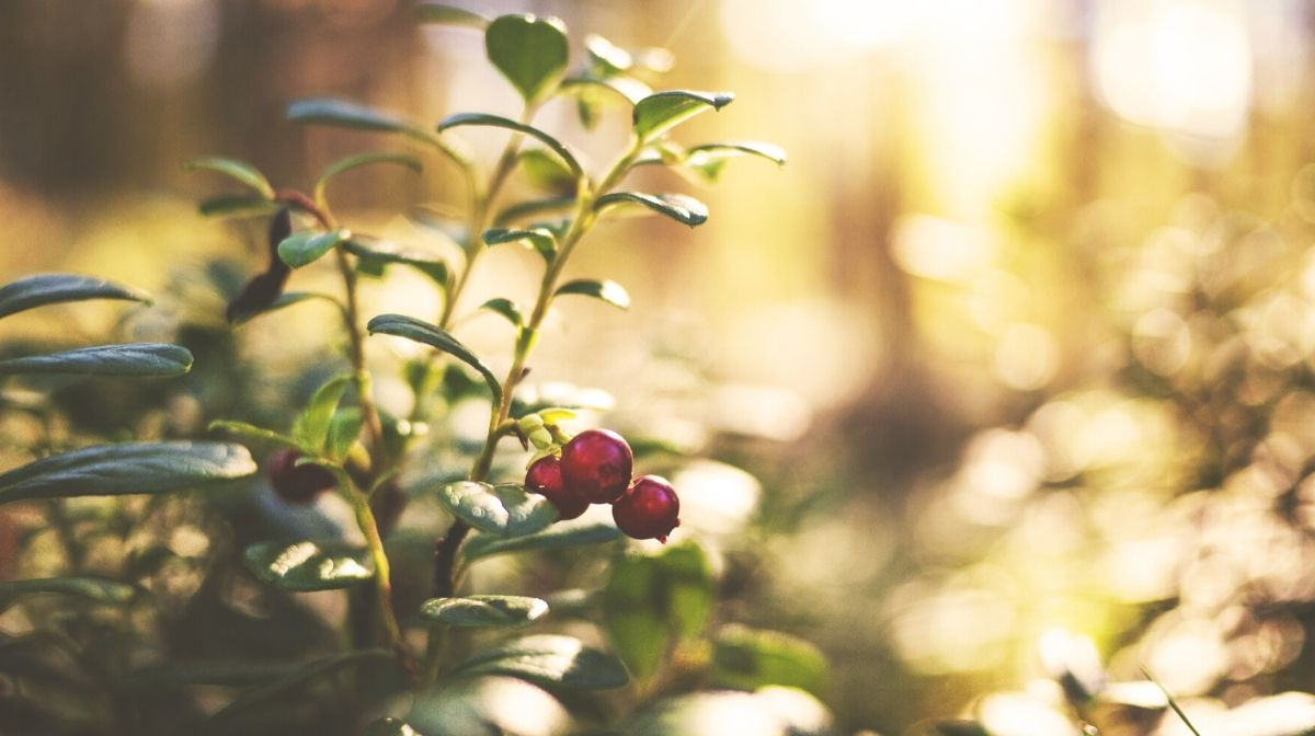 Spotlight on Skin Care Ingredients: Lingonberry Oil