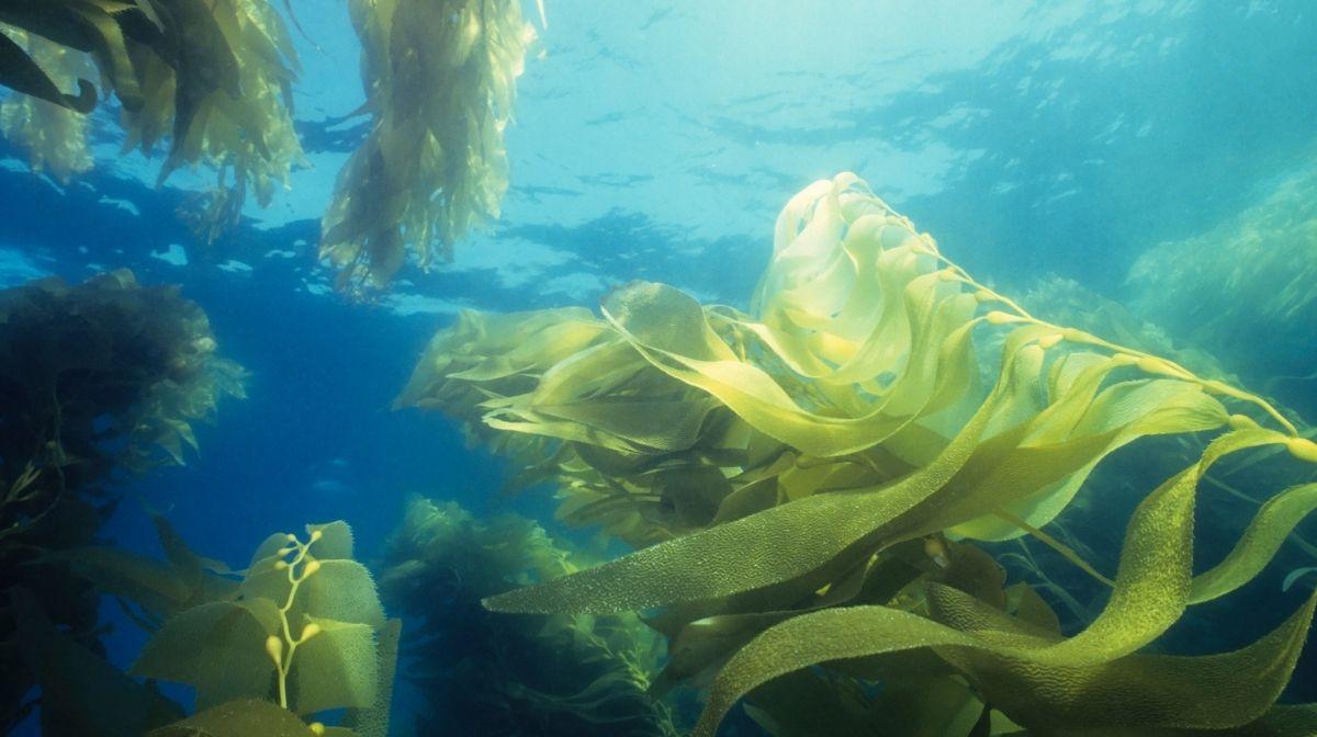 Why Algae is a Good Source of Omega-3