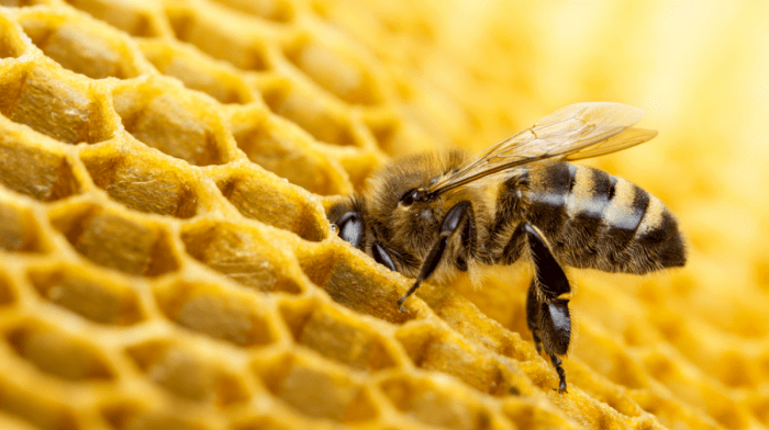 Les bienfaits de la cire d'abeille