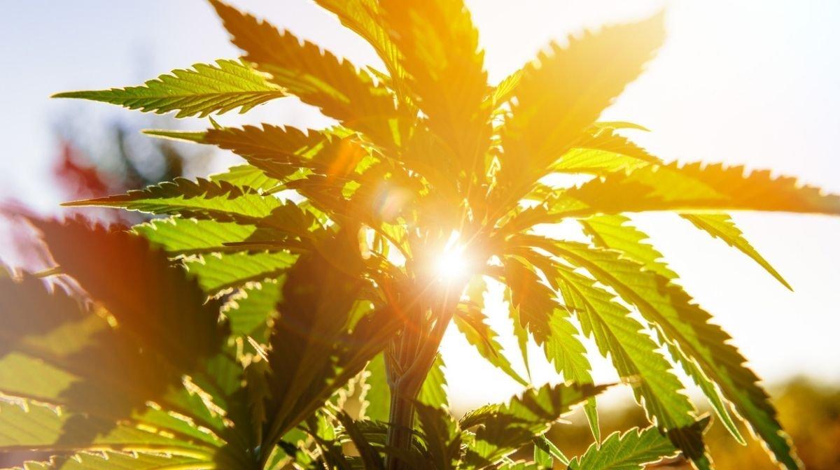 Image de la lumière du soleil sur une plante de cannabis, pour accompagner un article sur les bienfaits de l'huile de chanvre pour la peau