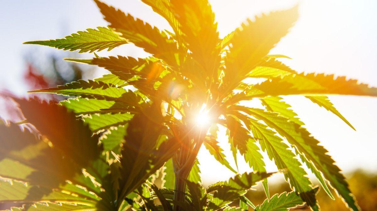 Foto welches eine sonnenbelichtete Hanfpflanze zeigt.
