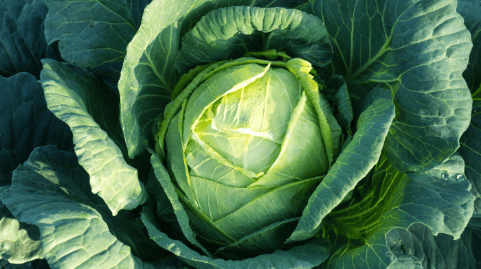 Cabbage Leaves For Mastitis: Everything You Need To Know