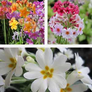 Plant festival - February - Primrose