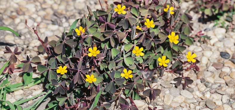 Identifying weeds & removing them